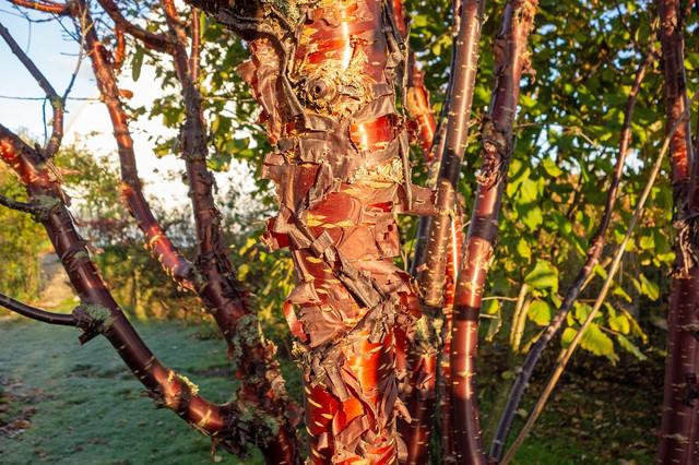 Bild-2-Prunus-serrula-4