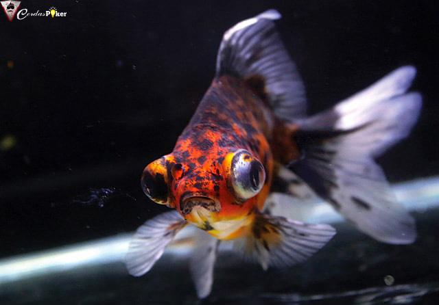 Demekin, Ikan Mas Koki yang Bikin Demen