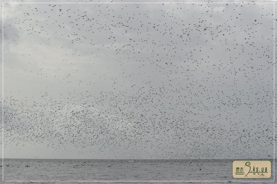 Скупчення лиски Fulica atra у Тендрівській затоці (Чорноморський заповідник)