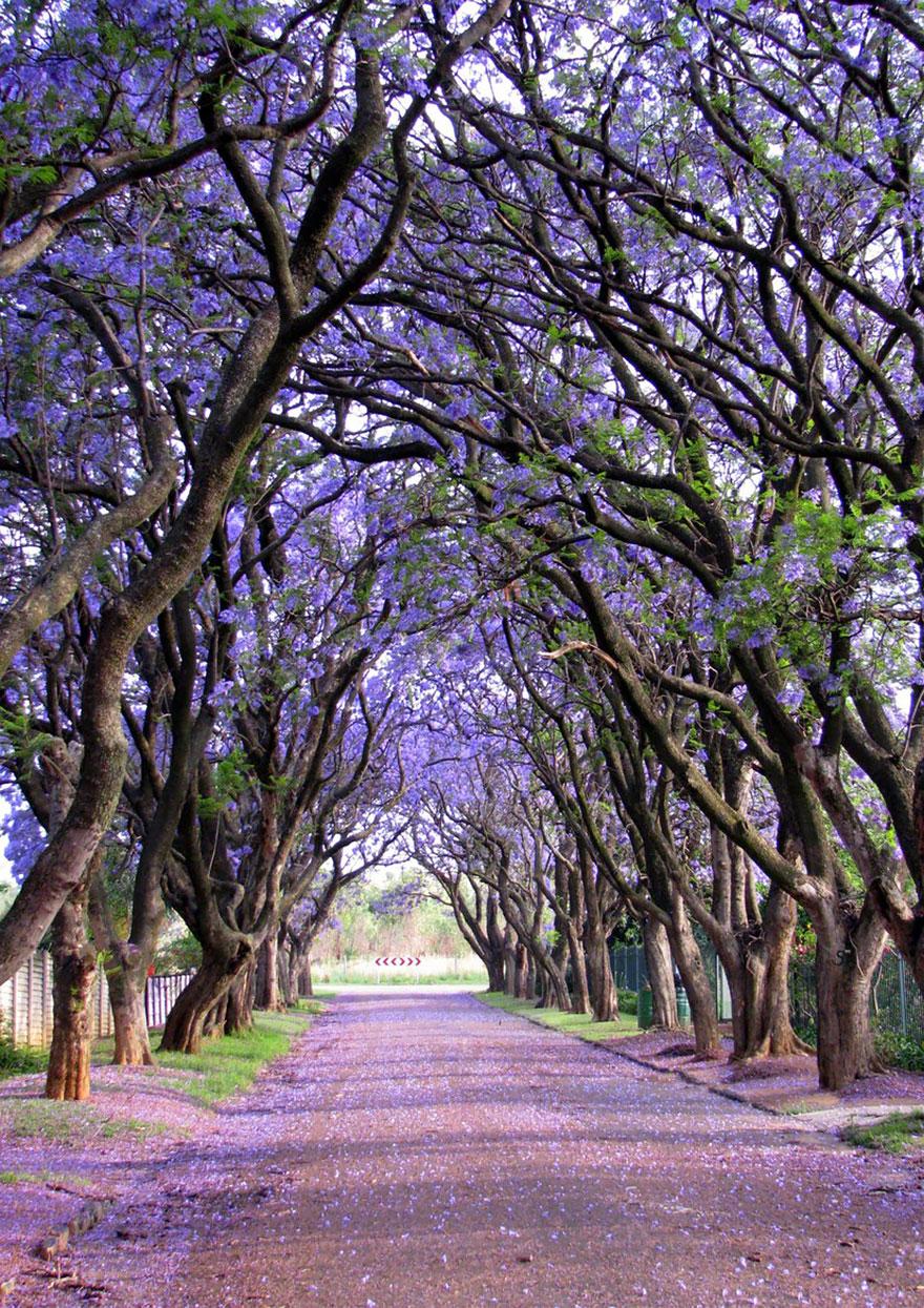 Жакаранды в Куллинане, Южная Африка-9
