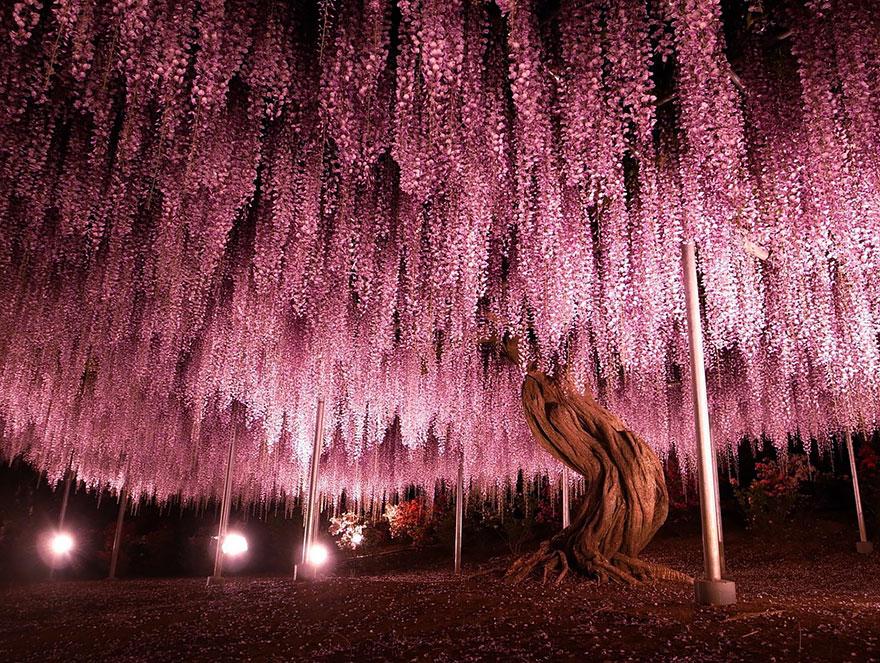 144-летняя глициния в Японии-1-1