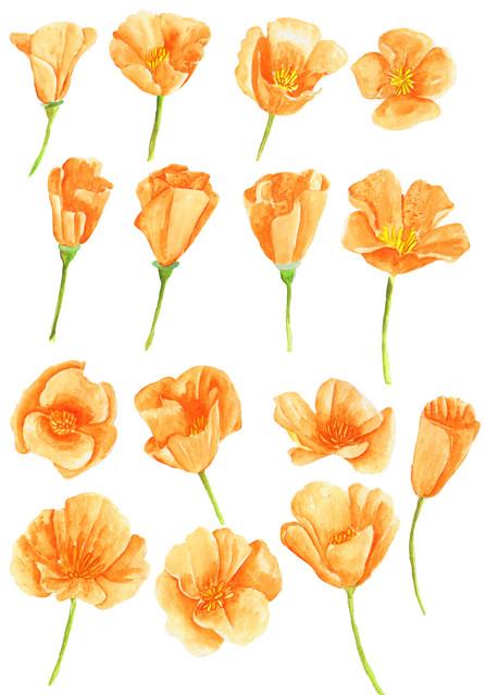 15-california-poppy