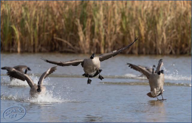 geese-landing-FB-BB-CAS08591.jpg