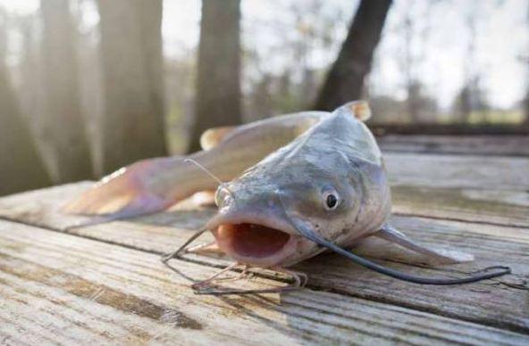 Bisnis Budidaya Ikan Lele