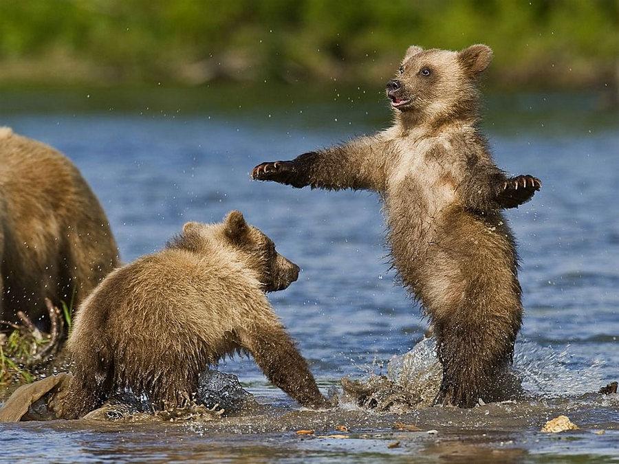 Невероятные фотографии медведей 28