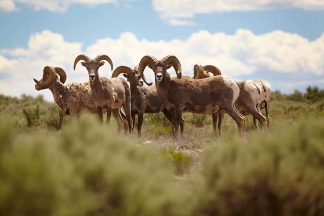 goats-staring