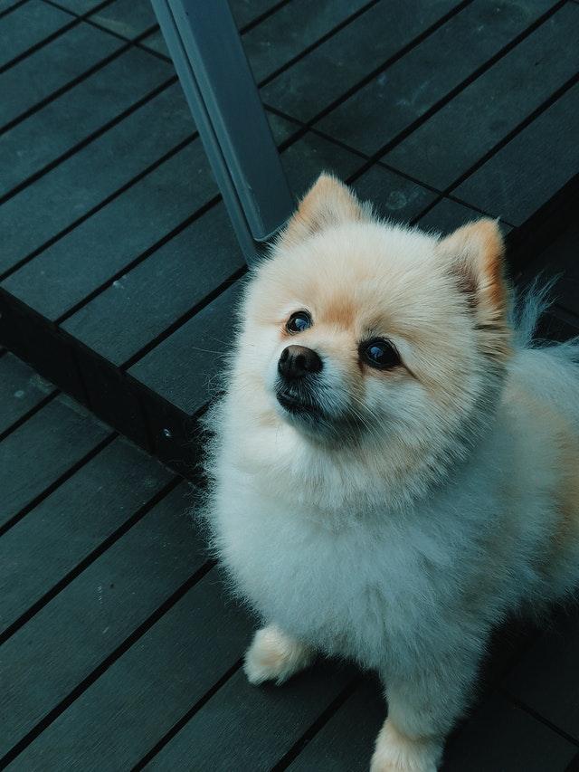 https://i.ibb.co/0hhrBdP/cute-Pomeranian-puppies.jpg