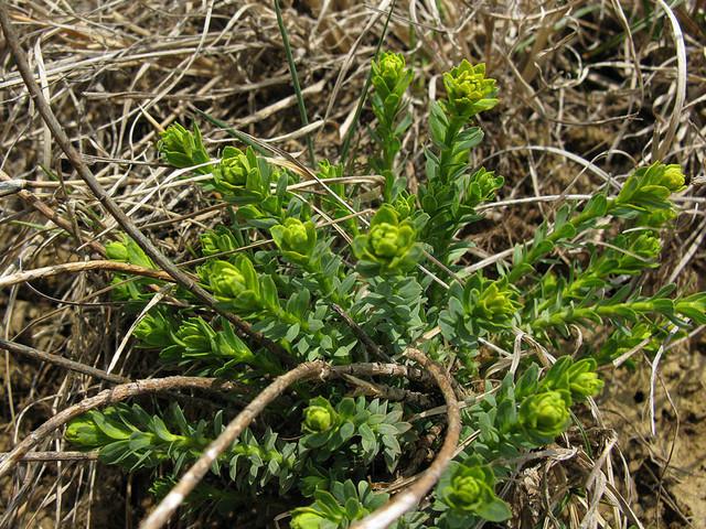 Euphorbia-3