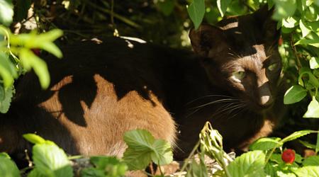 A thin black cat with green eyes sitting in a leafy bush.