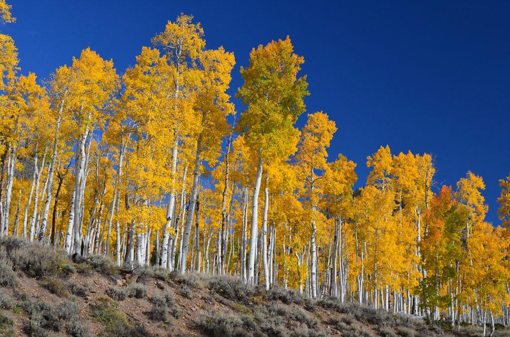 Размеры подземный корневых сетей, соединяющих деревья, трудно установить точно. Пандо, огромный организм-колония деревьев-клонов (осинообразных тополей) в США – исключение. По их ДНК установлено, что эта сеть включает сорок тысяч деревьев на площади в 43 гектара. Возраст организма-сети не менее 14 тысяч лет / ©Wikimedia Commons