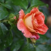 roze29
