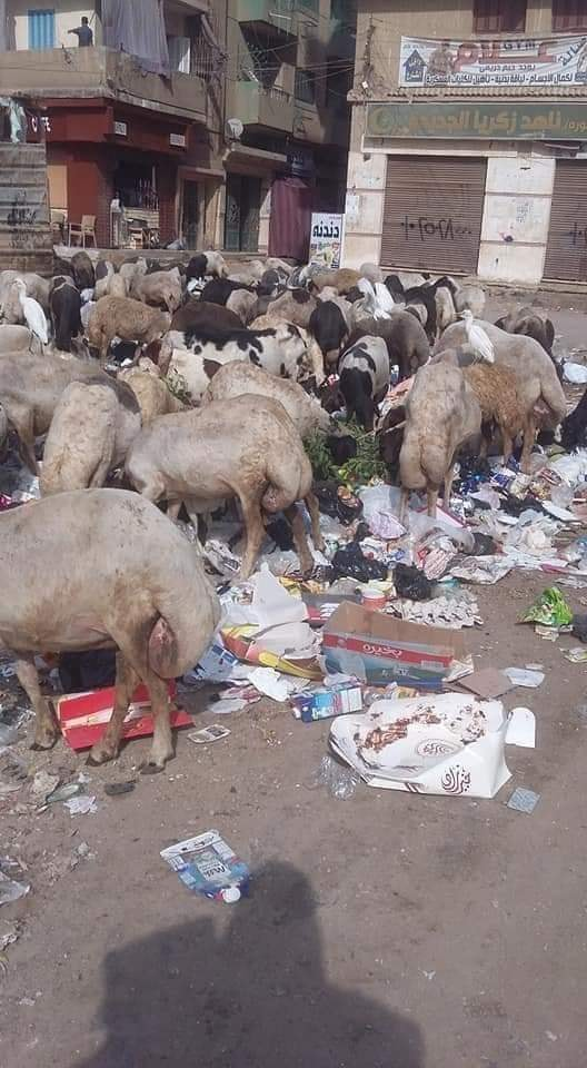 صورة من مصر، ماشية تتغذى على القمامة!