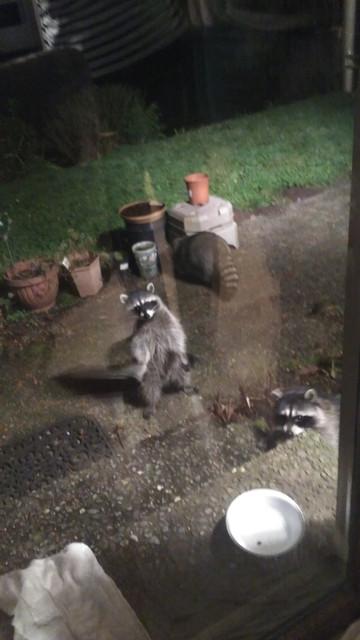 24-November-family-tree-and-raccoons-3