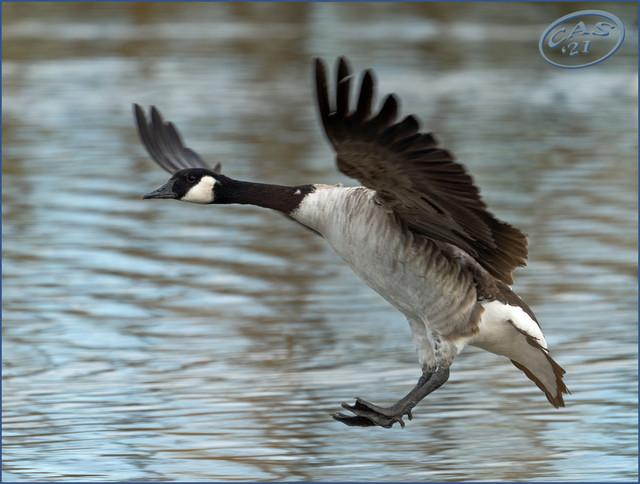 goose-landing-PSEM-CAS08428.jpg