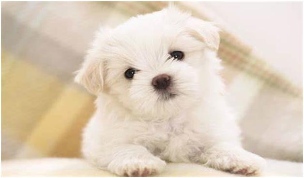 Maltese-dogs
