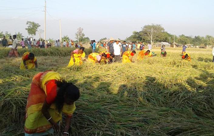 Govt procures 13,230.42 tonnes Aman rice in Rajshahi division