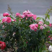 roze45