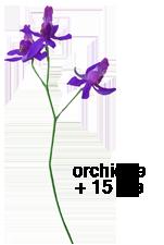 Les Coquelicots - Page 10 Orchide-e