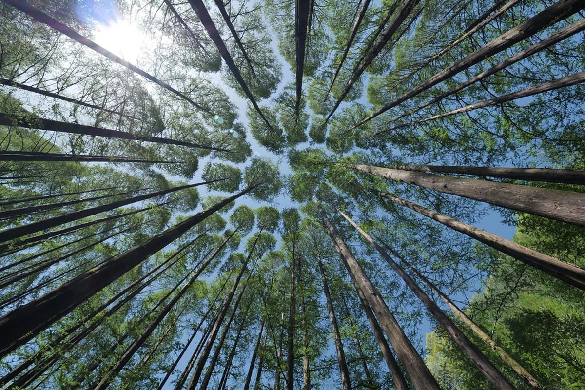"""Creano """"super alberi"""" geneticamente modificati che assorbono grandi quantità di CO2"""