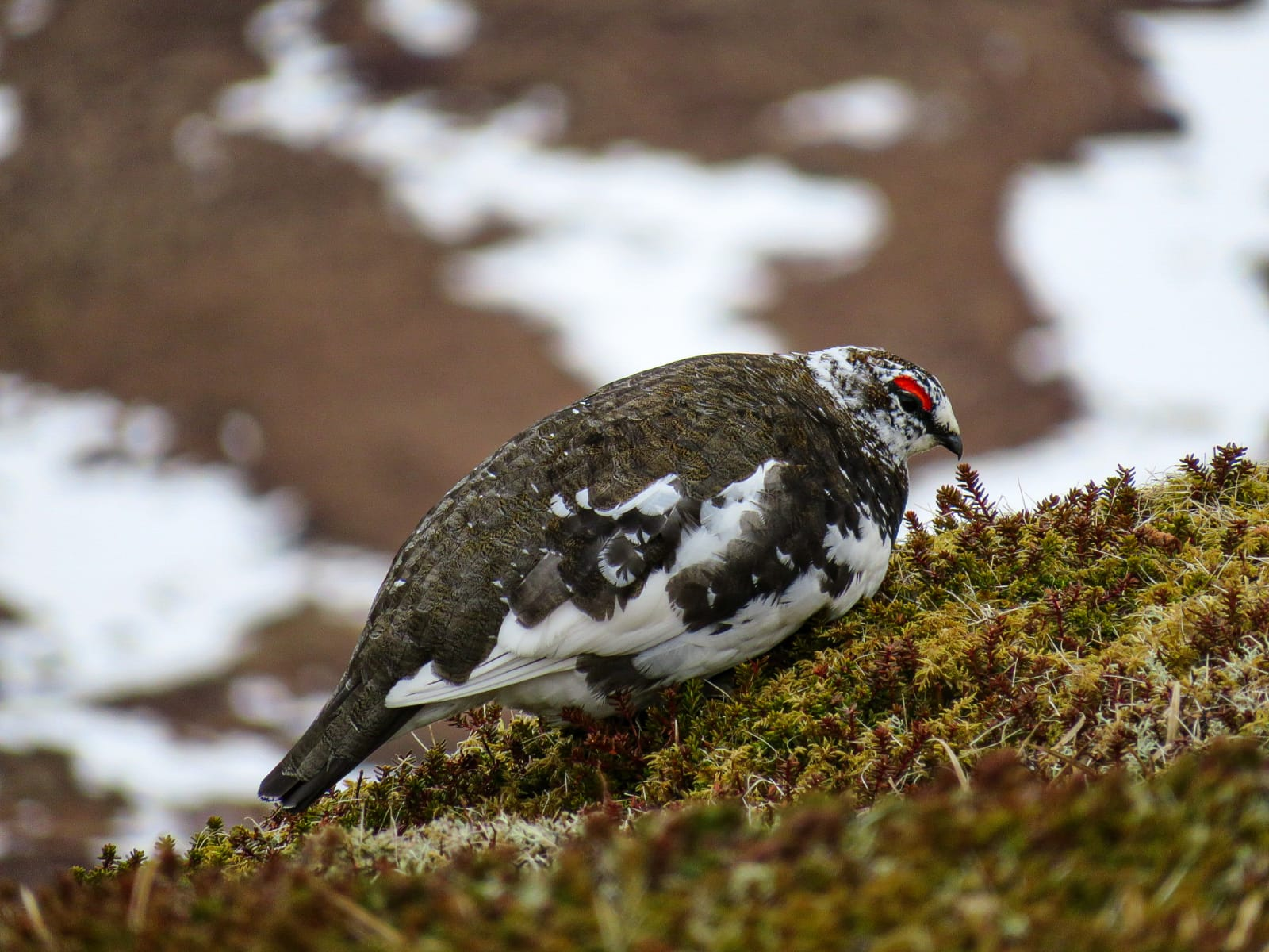 Ptarmigan, wildlife