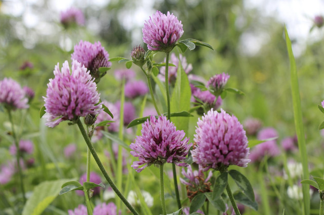 red-feather-clover