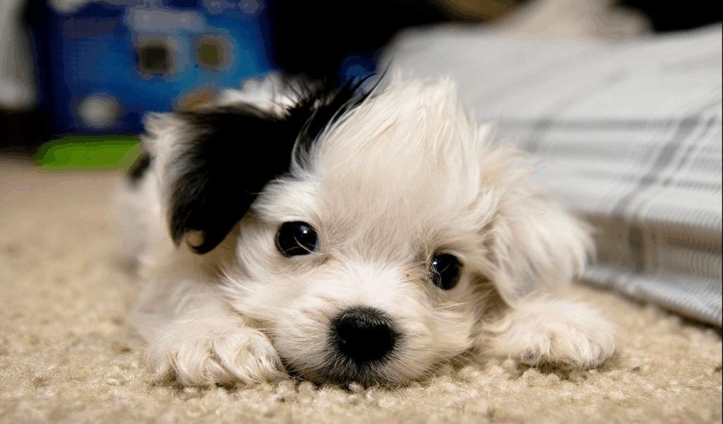 Dog Breeds Pets Market