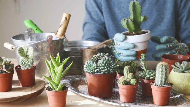 5 Tips for Caring for Indoor Cacti, Easy and Practical