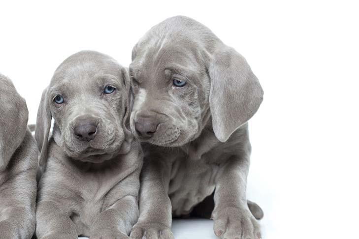 Weimaraner Puppies: A-Z Information