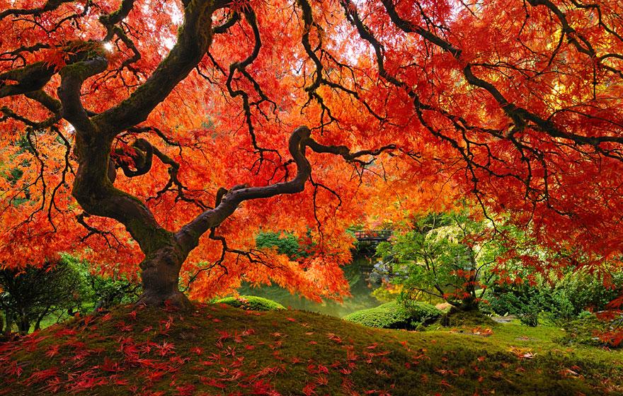 Красивый японский клён в Портленде, штат Орегон-8