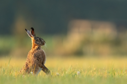 An image of a hare.