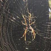 [Image: Orb-Spider.jpg]