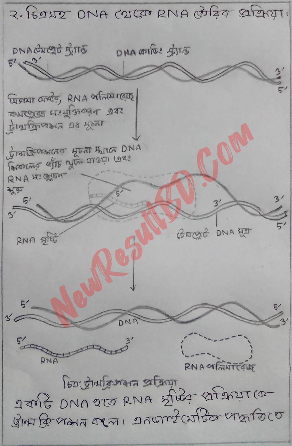 DNA এর ভৌত গঠন, DNA থেকে RNA তৈরি এবং RNA থেকে প্রোটিন তৈরির প্রক্রিয়া (চিত্রসহ)