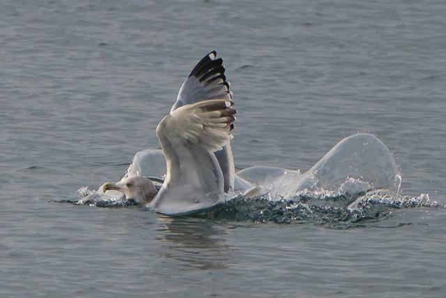 Seagull-Landing