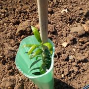 Anomalías en mi plantación (Badajoz) - Página 2 Olivo-4