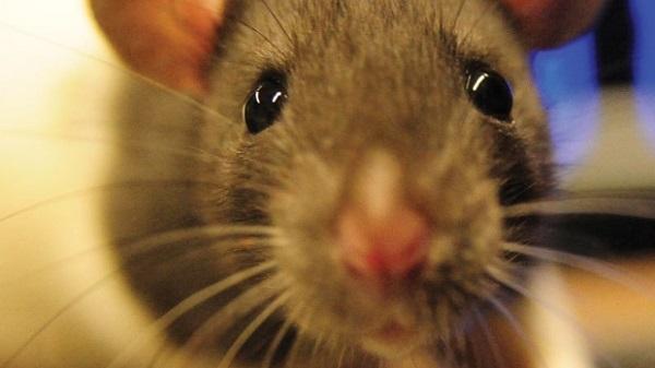 rato-olhos-20120527-original1