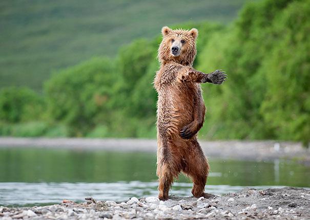 Медведи, такие медведи-13