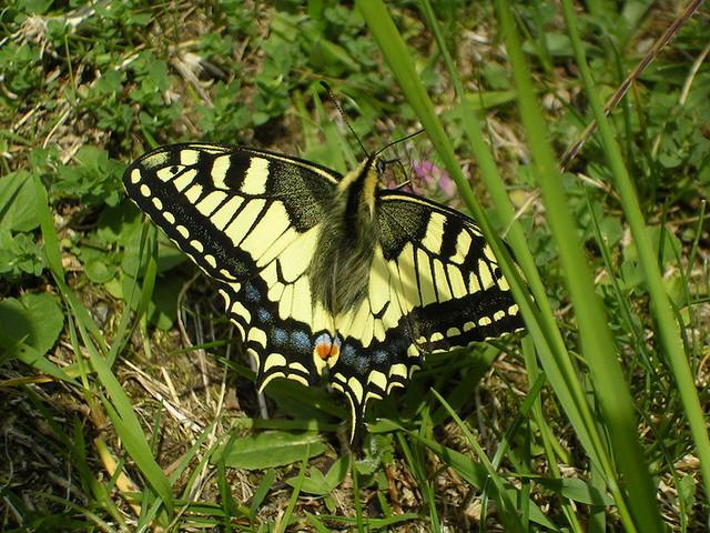 800px-Papilio-Machanon.jpg