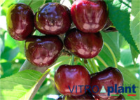 Tipos de cereza: Royal Bailey