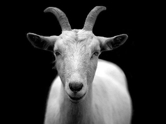 https://i.ibb.co/2vh7FQR/online-goat-store.jpg