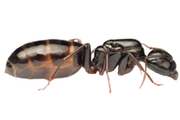 Camponotus-fallax-removebg-preview.png
