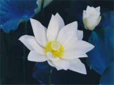 fiore-di-loto-1024x768