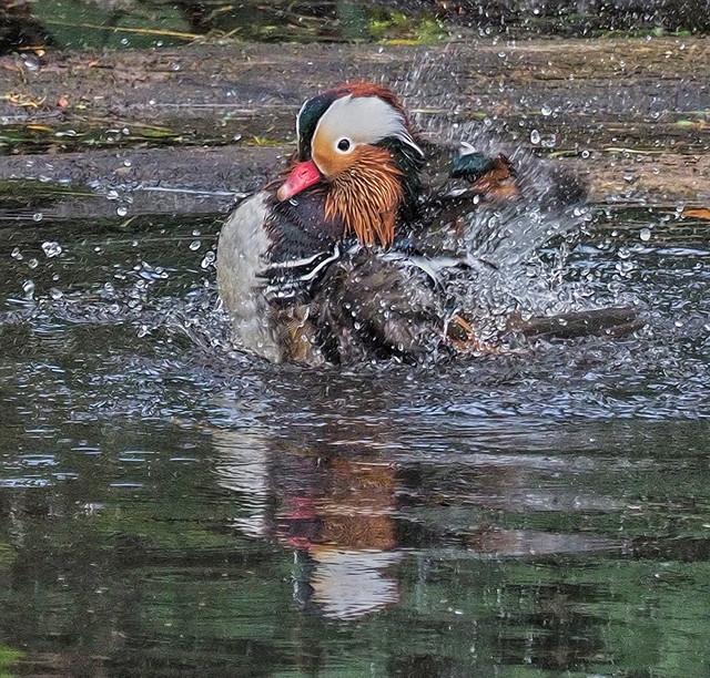 -Mandarin Duck M25s.jpg