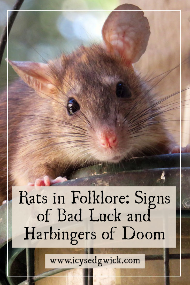 Many associate rats with portents of doom or incoming bad luck. But how else do they appear in folklore and superstition? Learn more in this article.