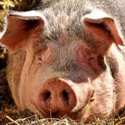 Teaser-Schweine