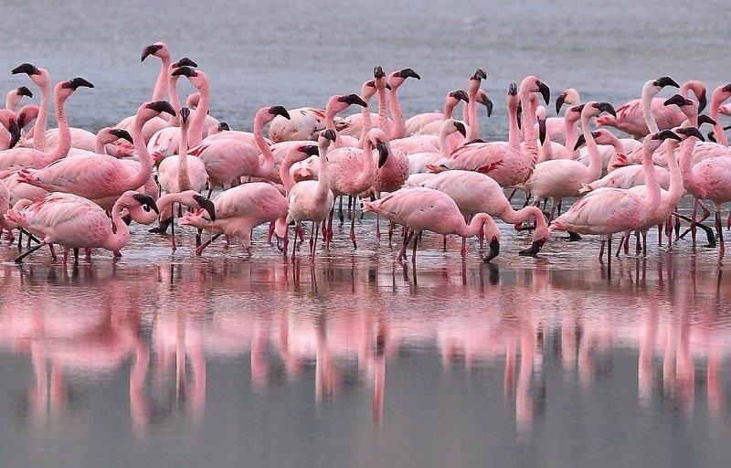 Розовые Фламинго на Кипре фото