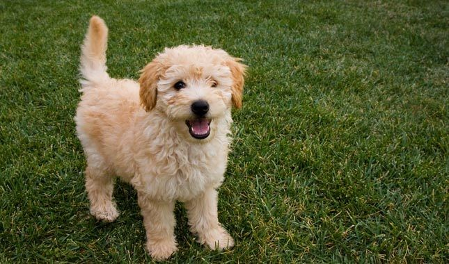 Effective Training Methods for Golden Doodle Dogs
