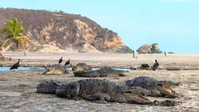 57460-corona-melanda-buaya-menguasai-pantai-meksiko