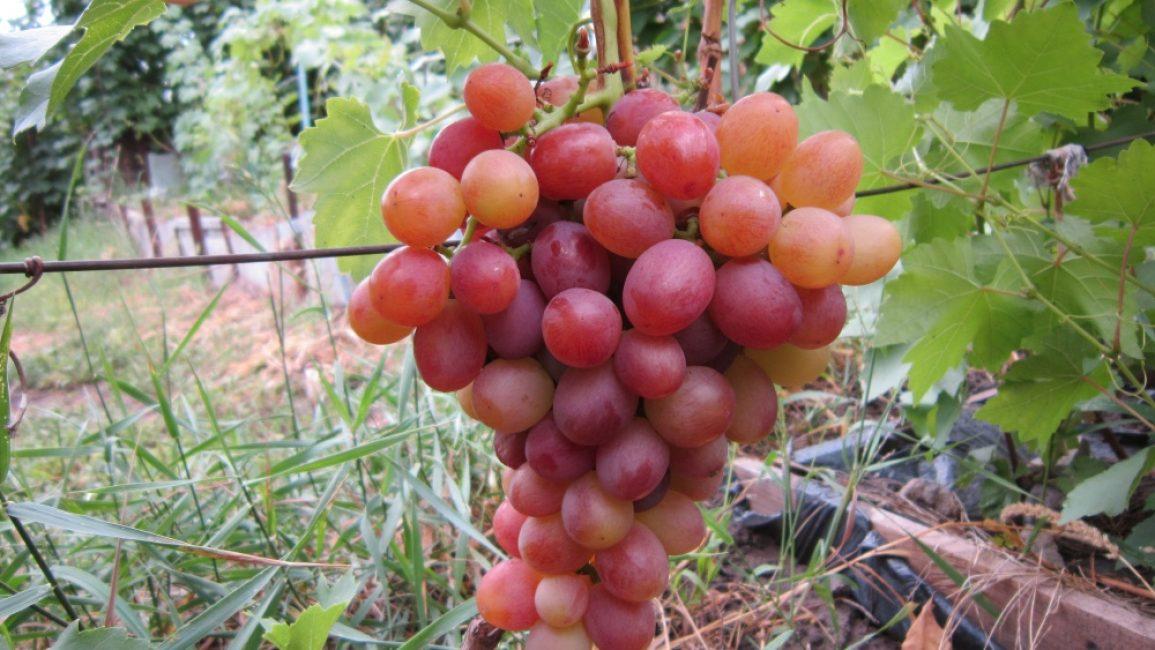 Скороспелые сорта винограда: советы по выращиванию