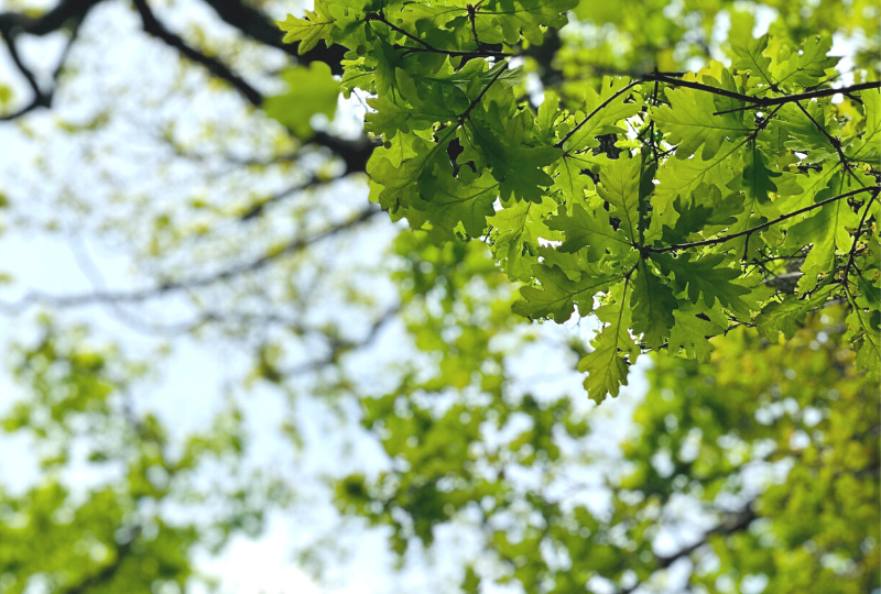 green oak tree leaves and branches