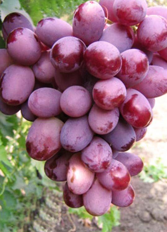 1587219116-w640-h640-sazhentsy-vinograda-everest